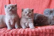 Клубные британские и вислоухие котята