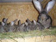 Молодняк кроликов - 100 лей штука